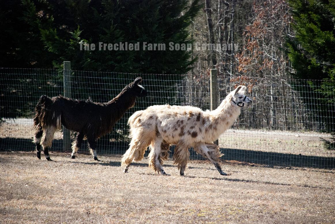 The Freckled Farm - Llamas as Guard Animals