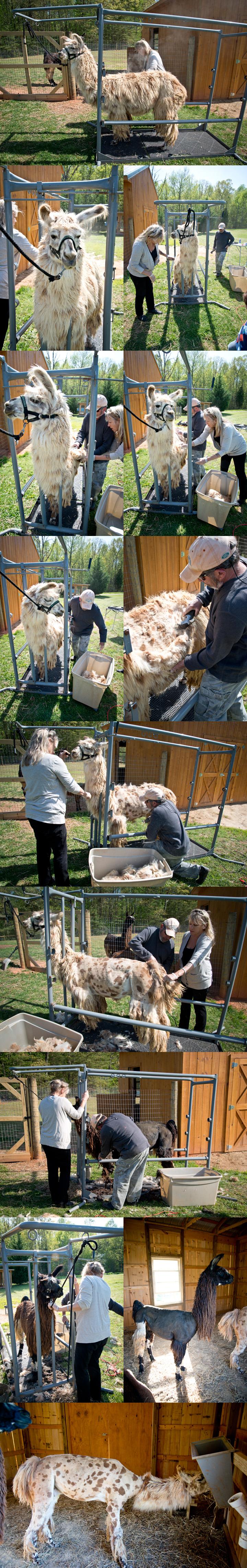 2013 llama shearing