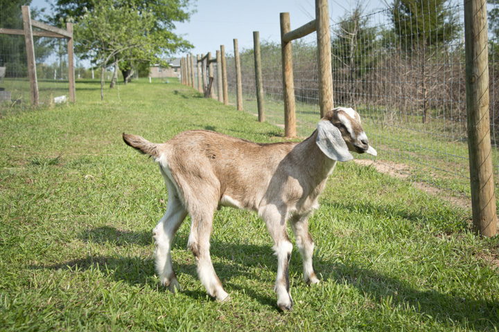 Pure Bred Nubian Buck For Sale - The Freckled Farm
