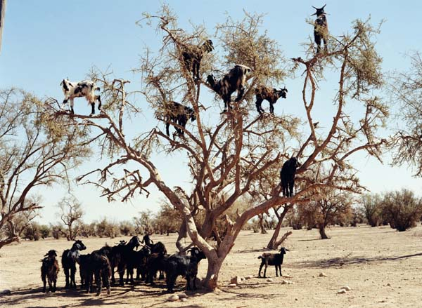 goat-trees