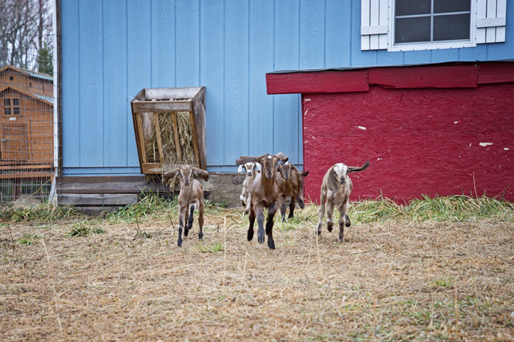 2015 Goat Kids at The Freckled Farm