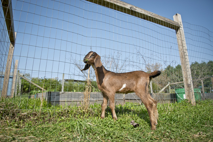 Pure Bred Nubian - Sold to Money Pit Farms
