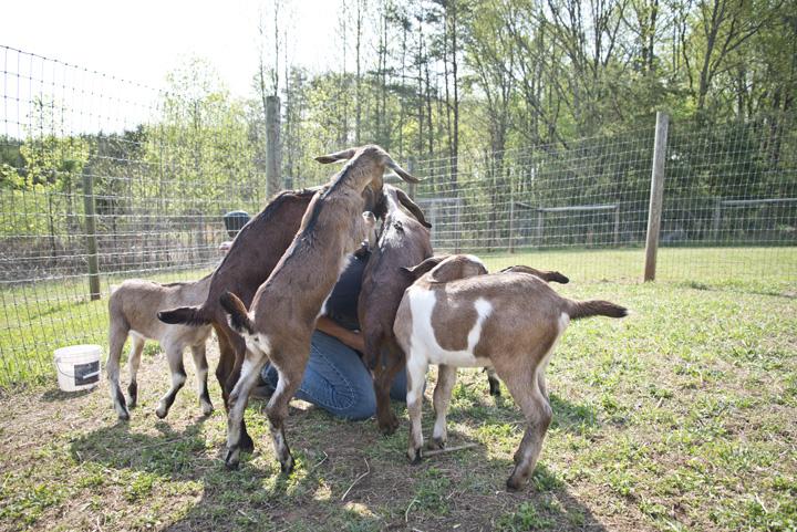 The Freckled Farm 2015 Goat Kids